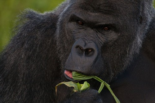 How Gorilla Poop Could Help Stop Ebola