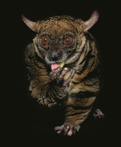 Flying Foxes, Rococo Toads, And Other Creatures Of Darkness