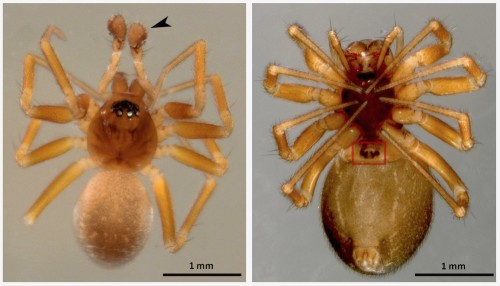 How Male Dwarf Spiders Use Chastity Belts to Safeguard Their Fatherhood
