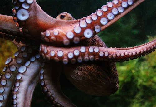 Octopus Climbs Out Of New Zealand Aquarium