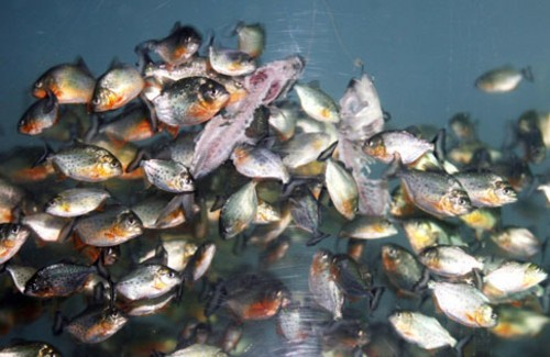 FYI: How Long Would It Take Piranhas To Eat A Person?