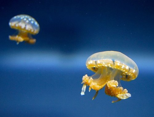 8 Ways Jellyfish Are Awesome And Terrifying