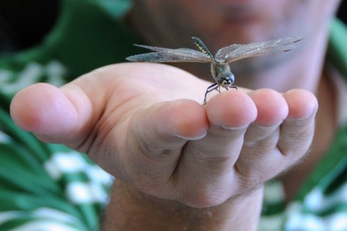 How Dragonflies Could Help Scientists Build Better Robots