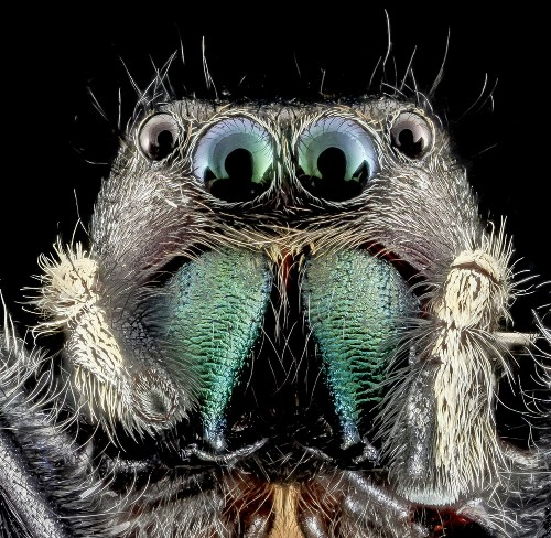 Big Pic: Check Out This Jumping Spider's Death Stare
