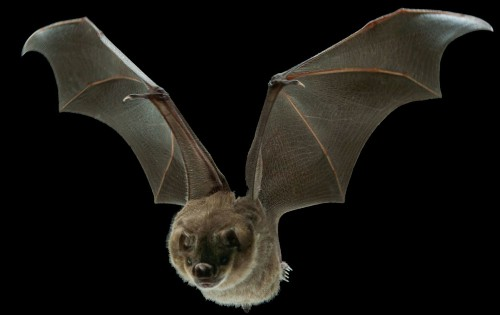 Bats Use Mini Muscles to Tweak Their Wings In Flight, And Drones Could Too