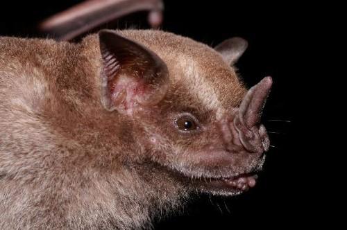 Like Darwin's Finches, But Weirder, Bat Faces Showcase Amazing Adaptations