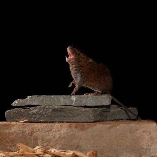 These mice sing their little hearts out—and that's good for neuroscience