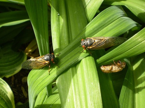 Why Do Cicadas Invade In Such Crazy Numbers?