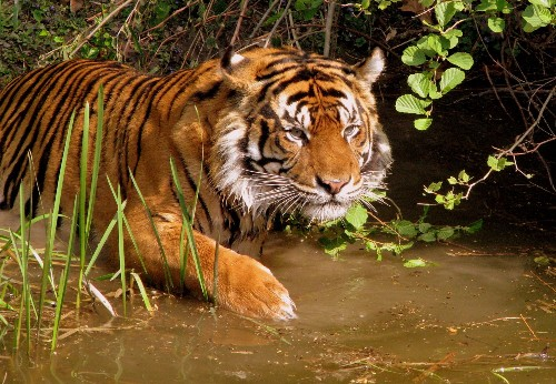 Tiger Songs Could Identify Individuals In The Wild