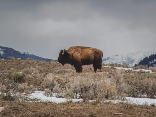 Are we killing off all the wild buffalo that still know how to roam?