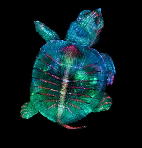 This fluorescent turtle embryo is just one of the year's most captivating photos of tiny stuff