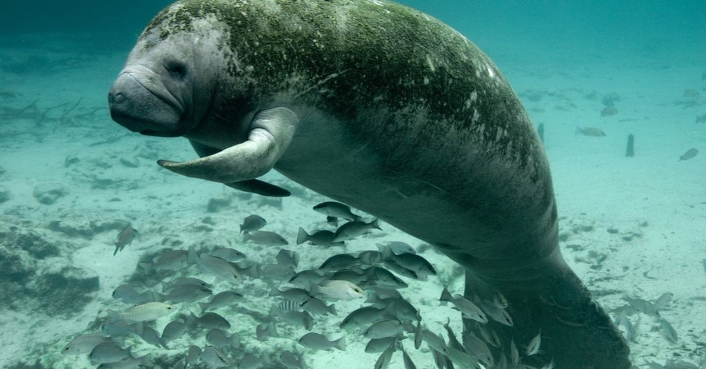Taking manatees off the endangered species list doesn't mean we should stop protecting them
