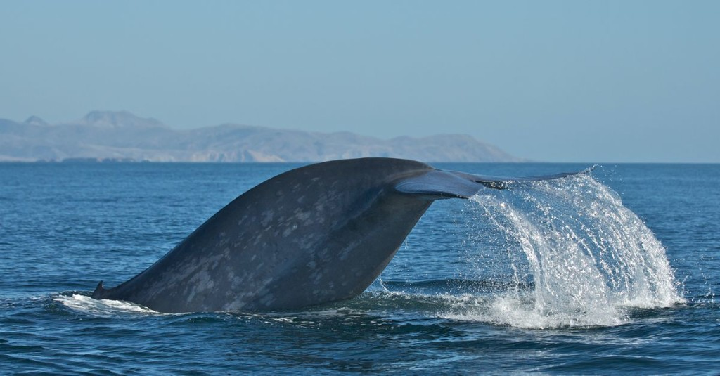 Whale 'roadkill' is on the rise off California. A new detection system could help.
