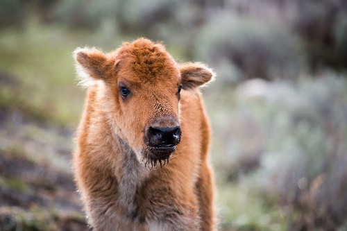 Baby Bison Euthanized After Tourists Put It In Their Car