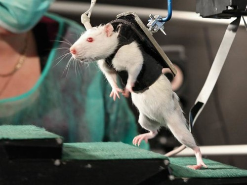 Paralyzed Rats Walk Again, Now Farther Than Ever
