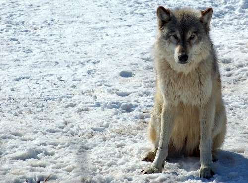 Trapped In A Bear Trap And Shot In The Body: The Story Of A Minnesota Wolf