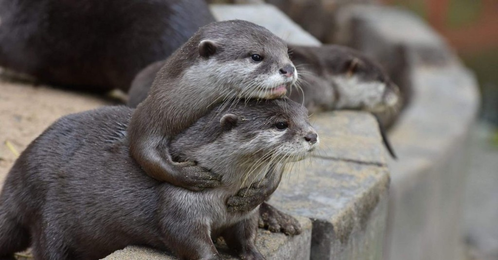 These otters learn how to snag snacks by watching their friends