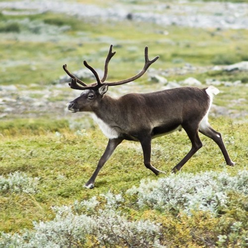 USDA Issues Livestock Permit For Magical Reindeer To Enter U.S.
