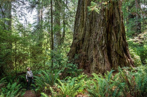 Researchers sequenced giant redwood genomes to kickstart a 23andMe for trees