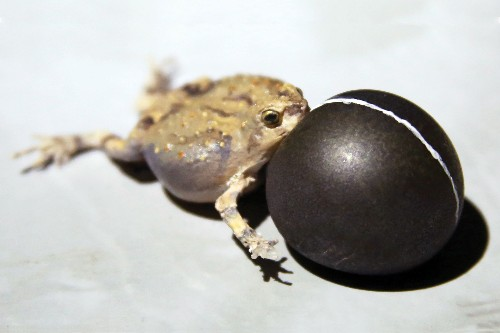 This Fake Robot Frog Is Key For Field Research
