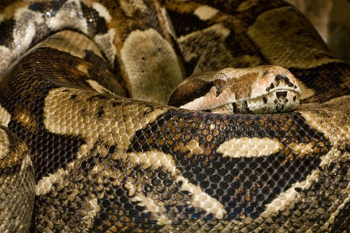 Finding Out How Boa Constrictors Kill (It's Not How You Think)