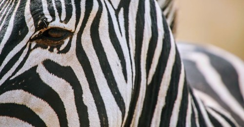 Scientists are still straightening out the history of zebra stripes