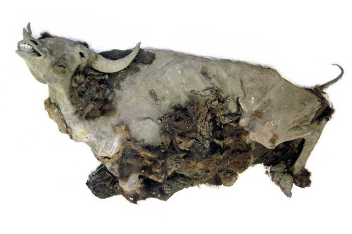 Scientists Necropsy Near-Complete Bison Mummy