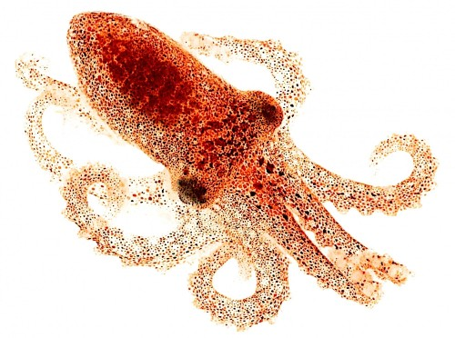 Octopus Skin Can See Light, No Brain Needed