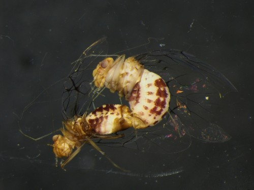 Marathon Mating and Female Penises—Bug Sex Just Got Even Weirder