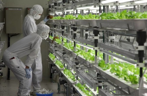 Out Of Old Factory, Japanese Company Sells... High-Tech Lettuce