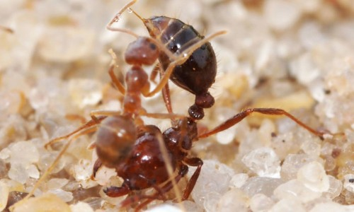 Ant Fight Creates Liquid With Properties Never Before Seen In Nature