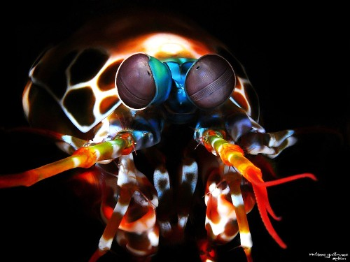 Mantis Shrimp Vision Is Not As Mindblowing As You've Been Told