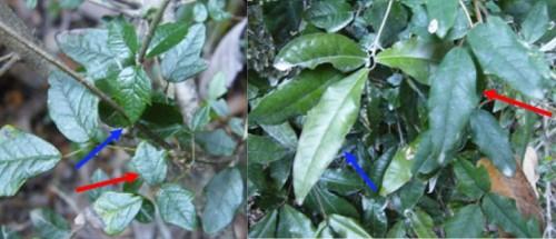 'Chameleon' Vine Looks Like Whatever Tree It Climbs