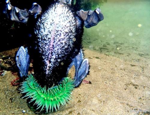 Giant Anemone Eats Seabird