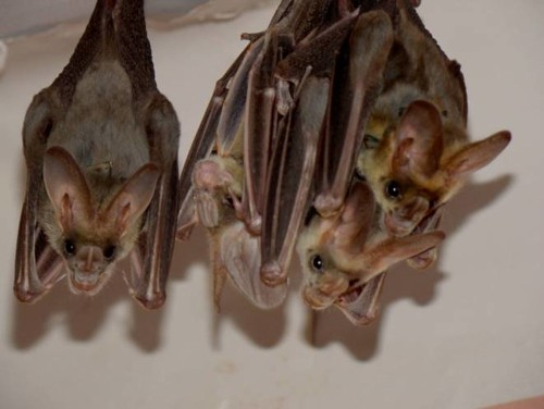 How Bats Recognize Friends In The Dark