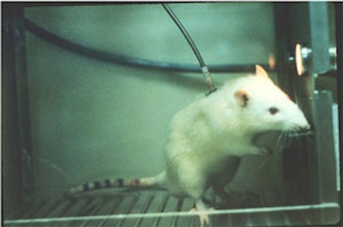 Laser Zaps Away Cocaine Addiction In Rats
