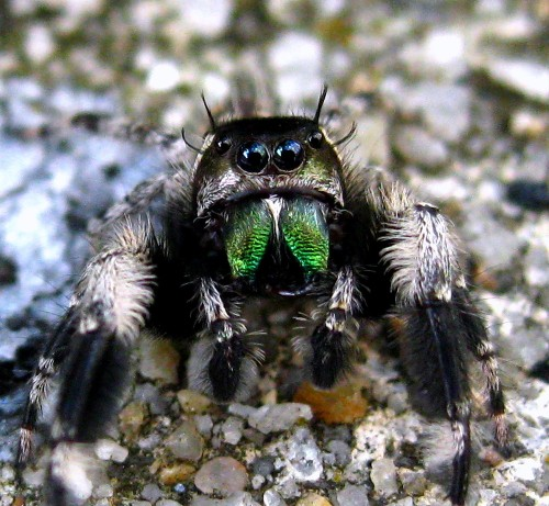 Jumping Spiders Are the Cutest, and You Can Catch Your Own