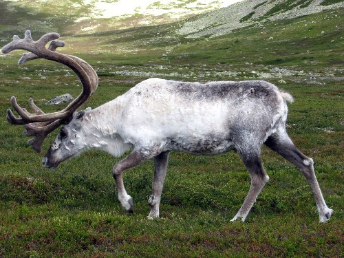 The Science Behind Reindeer's Color-Changing Eyes
