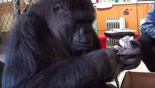 Koko The Gorilla Gets Two Kittens For Her 44th Birthday