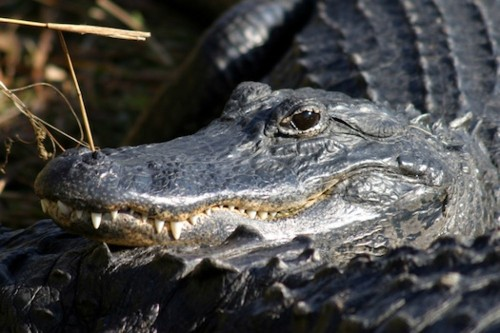 Dentists Study Alligators To Figure Out How Humans Could Regrow Teeth