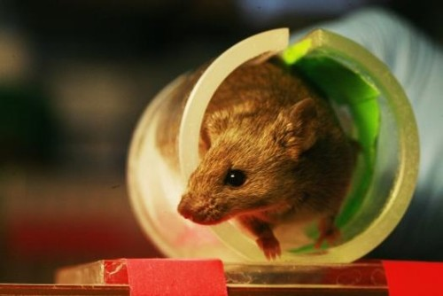 Found: The Part Of The Mouse Brain That Motivates Exercise