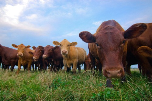 Tuberculosis-Resistant Cows Engineered In China