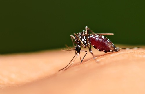 Mosquitoes evolved to fly away with a belly full of your blood—without you ever noticing