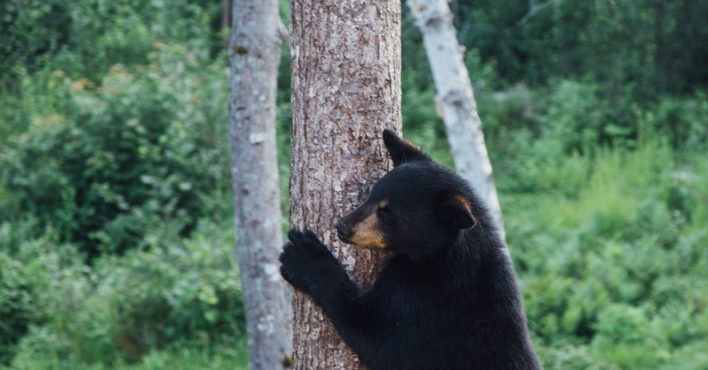 Simple tips for getting black bears to leave you alone