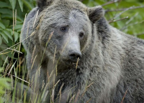 Grizzly Bear Survival: Yet Another Reason Not To Shoot Yellowstone Wolves