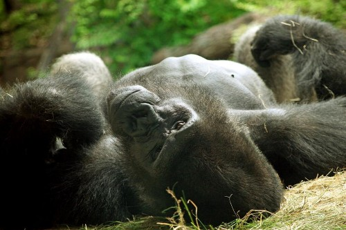 Mean, Sexist Gorilla Gets Kicked Out Of Dallas Zoo