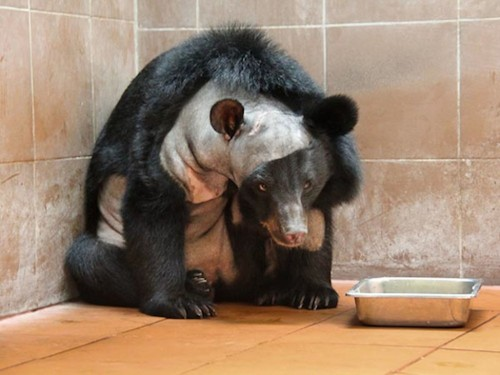 This Is The First Bear To Get Brain Surgery