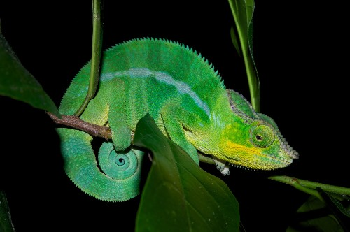 Tiny Crystals Are The Secret To Chameleon Color Change [Video]