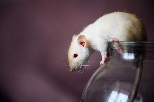 Tricking rats with augmented reality unlocked a secret about our own brains