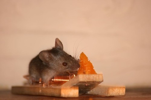 Do Mice Really Adore Cheese?